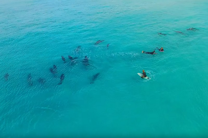 Vidéo : Surfing with Dolphins