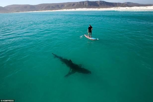 Le SUP et les requins